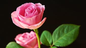 Best Pink Roses Hd Wallpaper