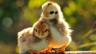 Birds chicks (chickens) baby wallpaper
