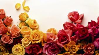 Colors Of Roses wallpaper