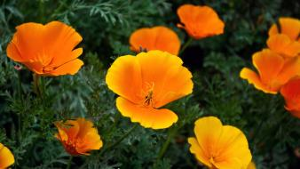 Orange Flowers Hd wallpaper