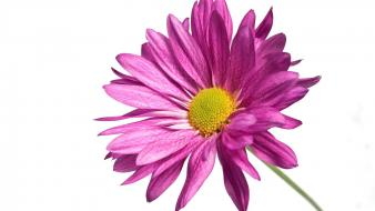Pink Daisy 1080p Hd Wallpaper