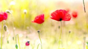Poppy Flowers wallpaper