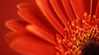Red Gerbera Daisy Hd wallpaper
