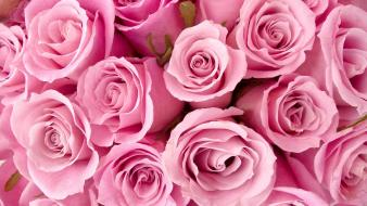 Special Pink Roses wallpaper
