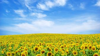 Sunflower Landscape Wallpaper