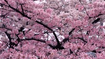 Tree In Bloom wallpaper