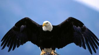 Wingspan bald eagle wallpaper
