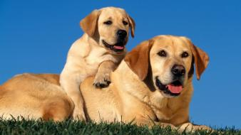 Yellow labradors wallpaper