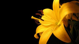 Yellow Lily Flower wallpaper