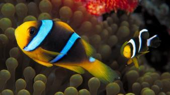 Animals gold spine clownfish sea anemones wallpaper