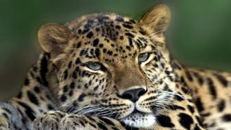 Animals leopards amur leopard wallpaper