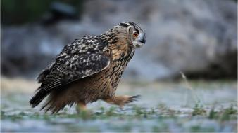 Birds animals owls eagle owl wallpaper