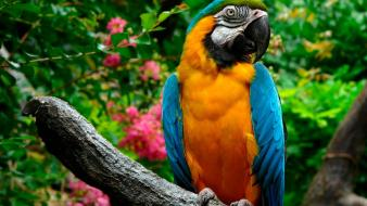 Birds animals parrots blue-and-yellow macaws wallpaper