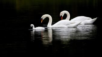 Birds family animals swans baby wallpaper