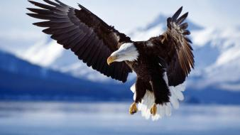 Flying birds animals bald eagles wallpaper