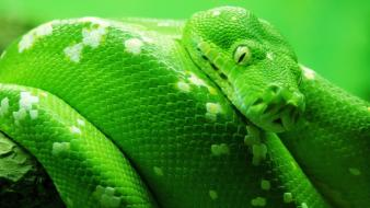 Green animals snakes reptiles wallpaper
