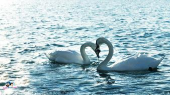 Love animals swans lakes two duck water bird wallpaper