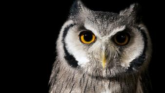 Nature eyes birds animals owls wallpaper