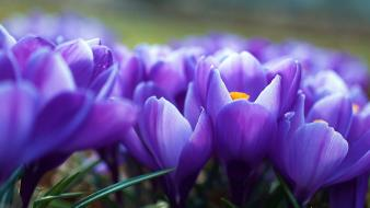 Nature flowers crocus purple wallpaper