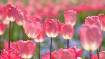 Nature flowers tulips pink wallpaper