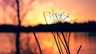 Sunset nature macro dandelions wallpaper