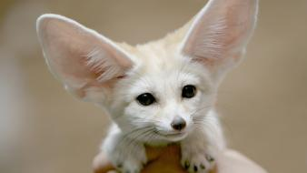 Animals african fennec fox Wallpaper