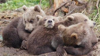 Animals cubs bears baby wallpaper
