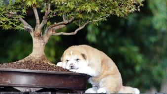 Animals dogs young funny bonsai akita asleep wallpaper