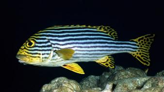 Animals fish oriental stripes wallpaper