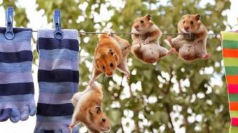 Animals funny hamsters national wallpaper