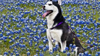 Animals husky blue flowers wallpaper