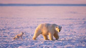 Animals snow landscapes polar bears baby Wallpaper
