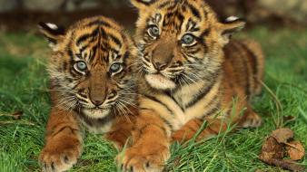 Animals tigers cubs baby wallpaper
