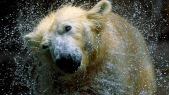 Animals water drops bears polar splashes Wallpaper