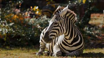 Animals zebras wallpaper