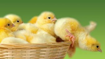 Birds animals chickens baskets chicks (chickens) baby wallpaper