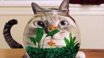 Cats goldfish fish tank situation wallpaper