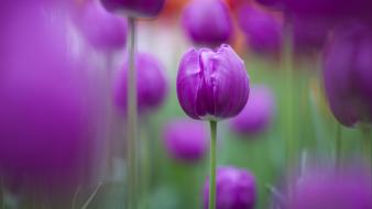 Flowers tulips purple Wallpaper
