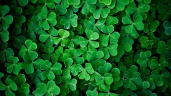 Green leaves shamrock wallpaper