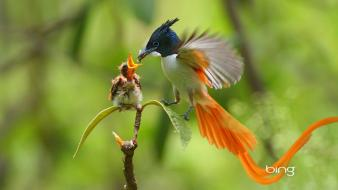 Male feeding bing baby asian paradise flycatcher Wallpaper