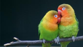 Multicolor birds animals parrots love bird wallpaper