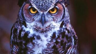 Nature birds animals purple owls wallpaper