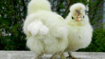 Nature birds chicks (chickens) baby wallpaper