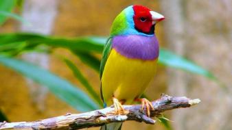 Nature birds finch wallpaper