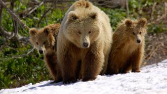 Nature snow animals cubs bears wallpaper