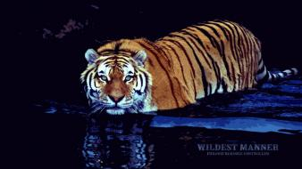 Water animals tigers wallpaper