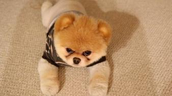 Animals dogs pets pomeranian boo wallpaper