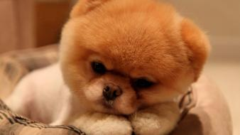 Animals dogs pets pomeranian pet boo Wallpaper
