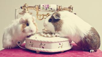 Animals guinea pig telephone wallpaper