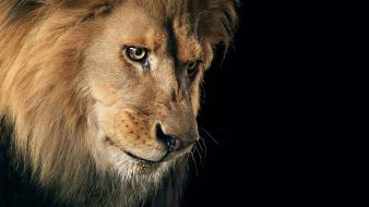 Animals lions wild animal lion Wallpaper